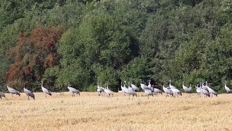 196e55abe69 Kured lähevad – kurjad ilmad. Need on tegelikult juba ammu käes.  Lääne-Eestis asuv Looduskalendri ja koostööpartnerite kurekaamera aga aitab  lindude rändele ...